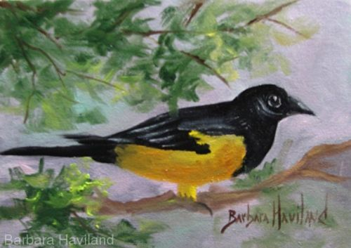 Oriole, bird,oils canvas,Barbara Haviland