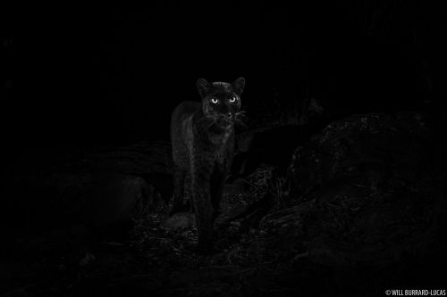 Starlit Black Leopard: Capturing my dream photograph
