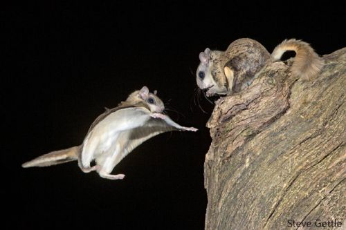 Photographing Flying Squirrels with High Speed Flash