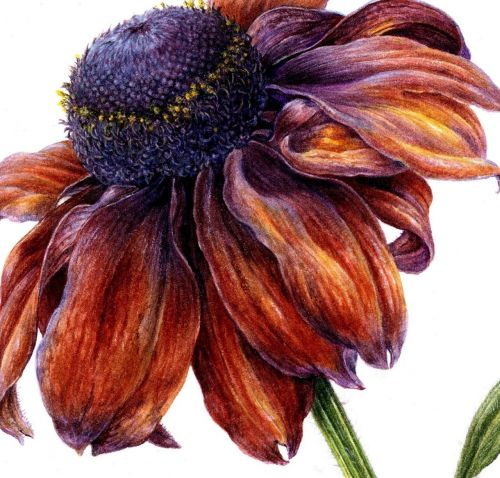 Painting Rich Colour, Texture and Detail: Rudbeckia