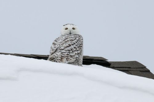 A ROOFTOP SNOWY OWL: THE EYES HAVE IT