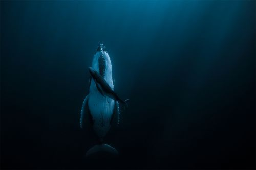 A Lounging Humpback Whale and Her Newborn Garner Top Prize in International Photography Contest