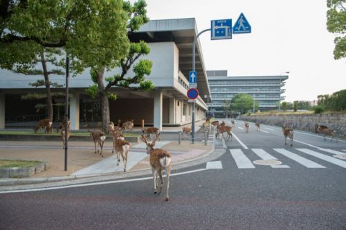 Photos of Deer That Roam Freely in the City of Nara, Japan