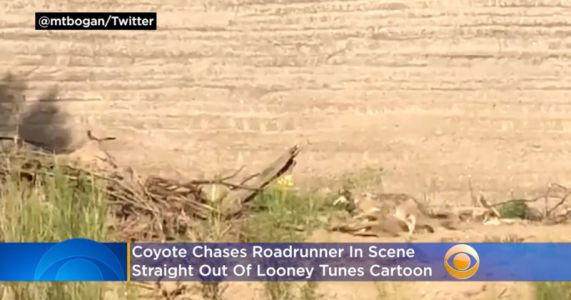 Wile E. Coyote Chasing Road Runner Caught on Camera in Real Life