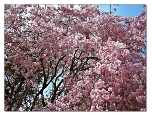 Cherry Tree in Full Bloom at Mountain Temple