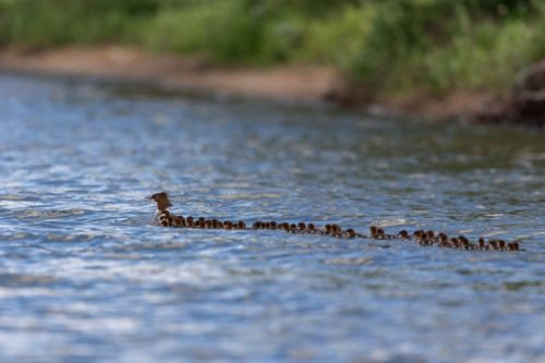 Photographer Spots Mother Duck with Giant Brood of 76 Ducklings