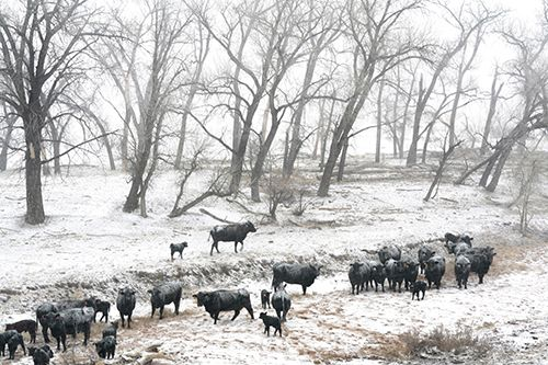 """Landscape, Wildlife Fine Art Photography """"Cattle in the Snow Storm"""" by Colorado Photographer Kit Hedman"""