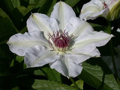 Single White Clematis photo