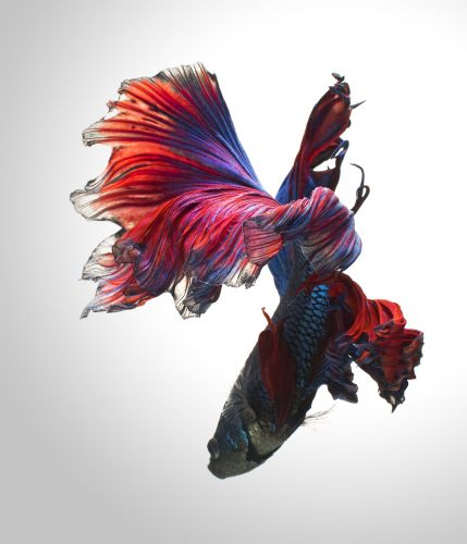 Betta Fish Imitate Elegantly Posed Dancers in New Portraits by Visarute Angkatavanich