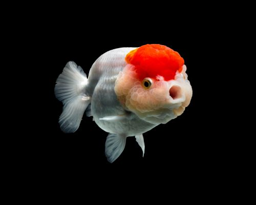 Richly Hued Portraits of Elegant Chinese Goldfish by Tsubaki
