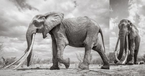 Shooting the Last Photos of the Rare 'Queen of the Elephants'