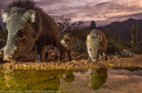Javelina Morning