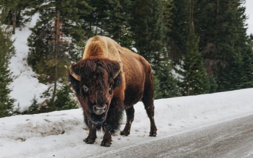72-Year-Old Woman Gored by Bison in Yellowstone While Taking Pictures