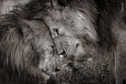 Touching Photo of Lions Wins Wildlife Photog of the Year People's Choice
