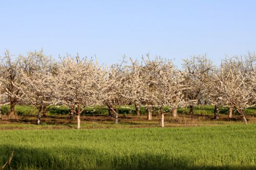 EARLY BLOOMING CHERRY ORCHARDS